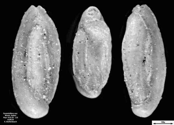Foraminifere aus Strandsand aus Rimini; Gattung: Quinqueloculina sp