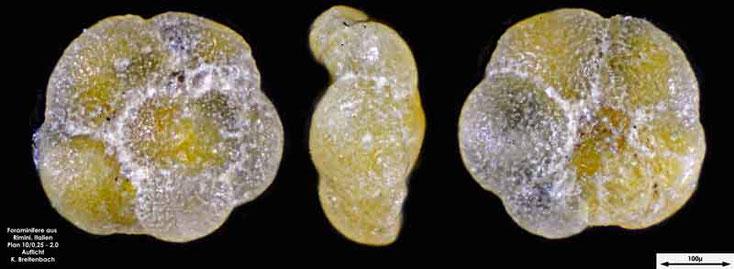Foraminifere aus Strandsand aus Rimini; Gattung: Turborotalia sp.