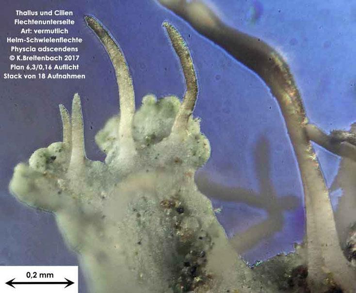 Bild 4 Flechte von Baumrinde, von einer Platane Art: vermutlich Physcia adscendens (Helm-Schwielenflechte)