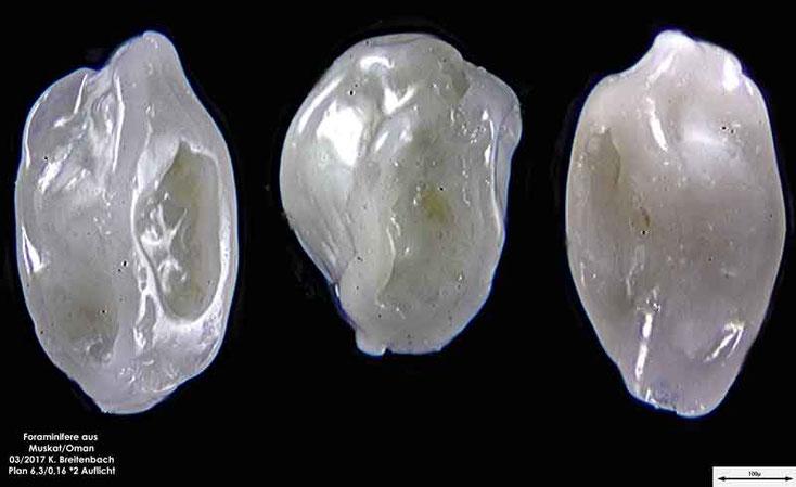 Bild 9 Foraminiferen aus dem Oman, Strand von Muskat. Gattung: unbestimmt