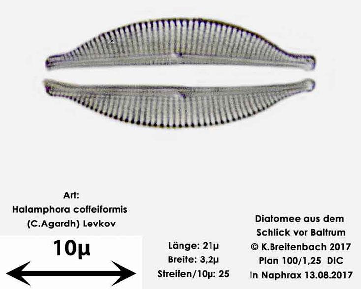Bild 4 Diatomee aus dem Watt vor Baltrum; Art: Halamphora coffeiformis (C.Agardh) Levkov