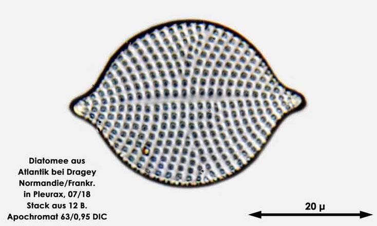 Diatomee aus dem Atlantik bei Draghey de Monton (Normandie). Art: Rhaphoneis amphiceros (Ehrenberg) Ehrenberg 1844