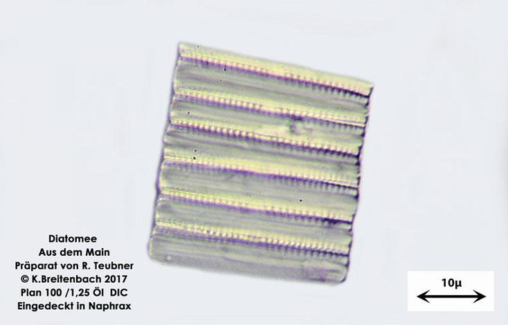 Bild 13 Diatomeen aus dem Main km 69,4 Art: vermutlich Tabellaria spec.