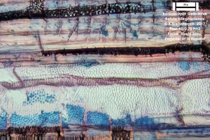 Bild 9 Gelb-Birke (Betula alleghaniensis) Radialschnitt mit Tüpfel und Tracheiden