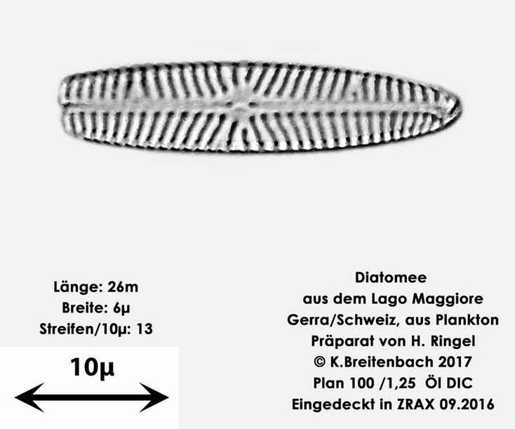 Bild 18 Diatomee aus dem Lago Maggiore/Gerra Schweiz, Art mir unbekannt