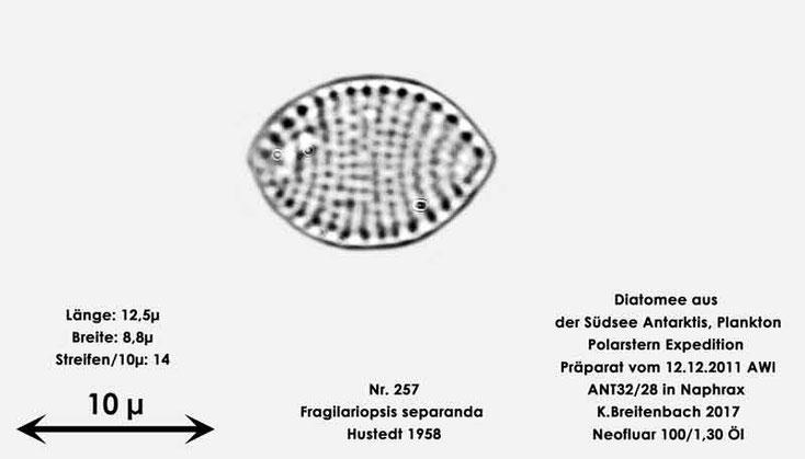 Bild 8 Diatomee aus dem anarktischen Ozean Präparat: ANT32/28; Art: Fragilariopsis separanda Hustedt 1958