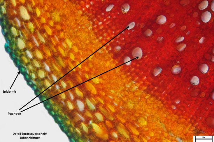 Bild 3 Echtes Johanniskraut (Hypericum perforatum) Sprossquerschnitt Teilbereich, Tracheen und Epidermis