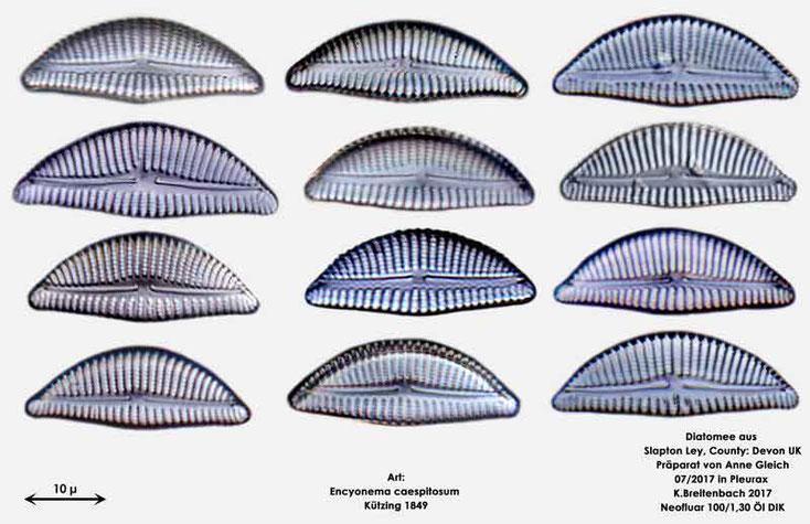 Bild 17 Diatomeen aus Slapton Ley, Devon UK; Art: Encyonema caespitosum Kützing 1849