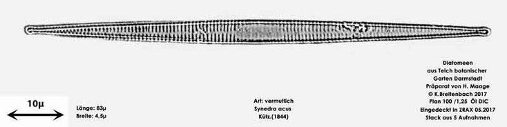 Bild 25 Diatomee aus dem botanischen Garten in Darmstadt, Art: vermutlich Synedra acus Kützing (1844)