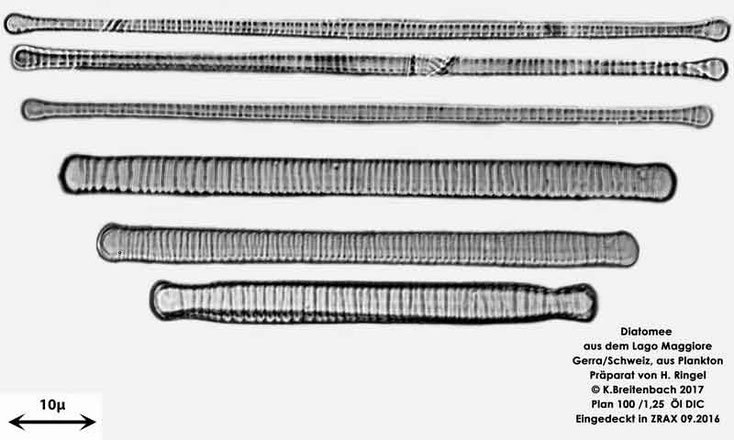 Bild 8 Diatomee aus dem Lago Maggiore/Gerra Schweiz, Art vermutlich Diatoma tenue Agardh (1812)
