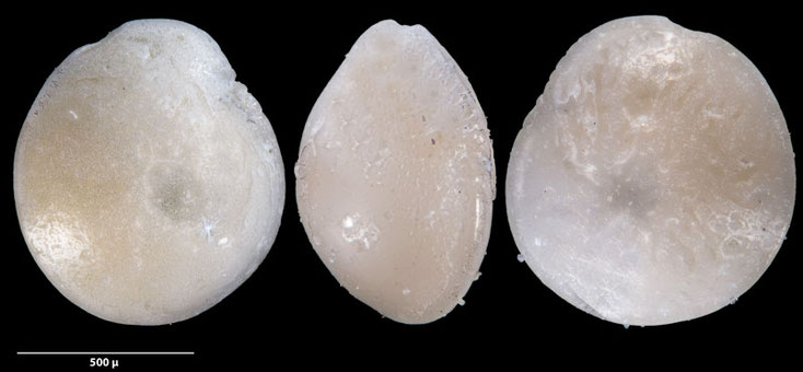 Bild 8 Foraminifere, aus Sand vom Strand Flic en flac in Mauritius; Genus: Amphistegina (d'Orbigny 1826) sp