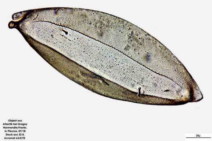 Diatomee aus dem Atlantik bei Draghey de Monton (Normandie). Art: Odontella regia (Schultze) Simonsen 1974