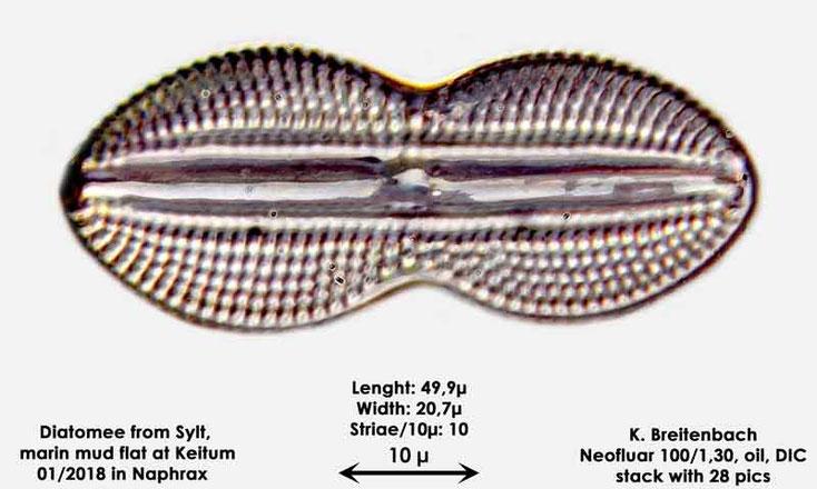 Bild 40 Diatomee aus Sylt/Keitum Watt, Art: Diploneis bombus (Ehrenberg) Ehrenberg 1853