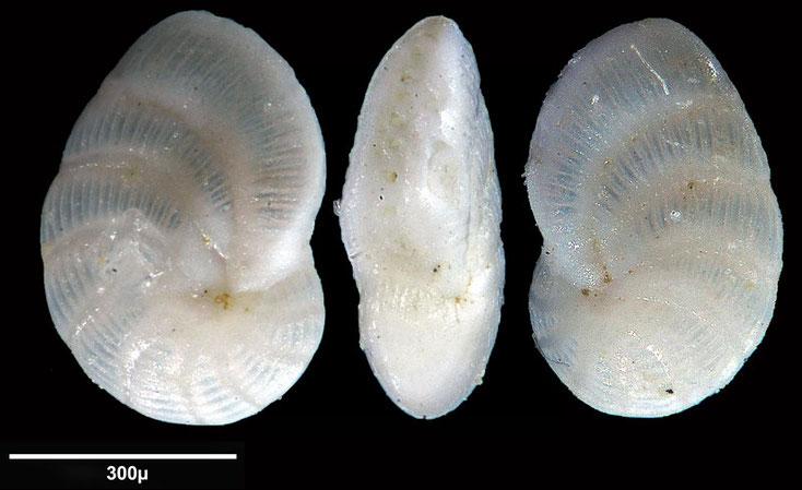 Bild 12 Foraminifere aus Maribago, Philippines; Art: Peneroplis pertusus (Forsskål in Niebuhr, 1775)