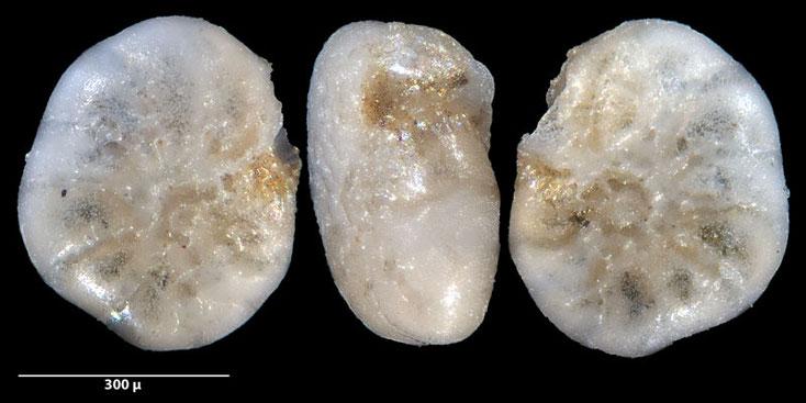 Bild 5 Foraminifere ausgelesen aus Sand von der Gaspesie, Kanada, Quebec