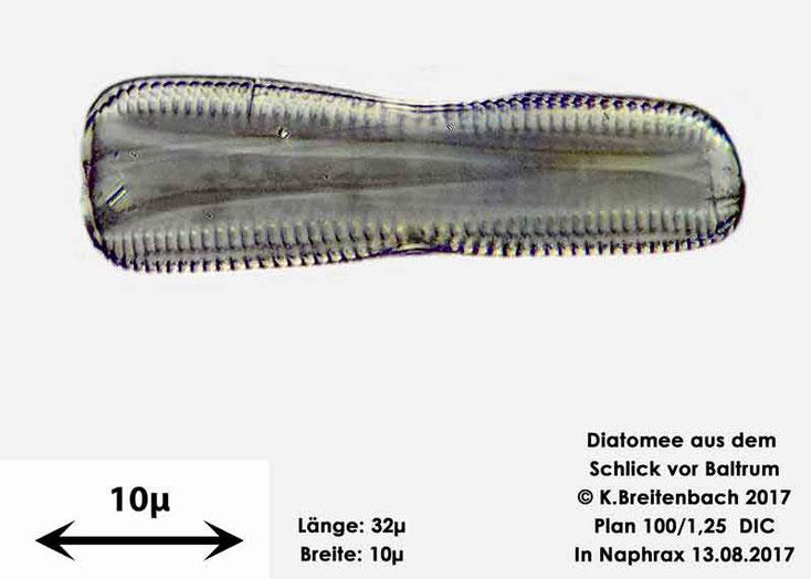 Bild 23 Diatomee aus dem Watt vor Baltrum; Gattung konnte von mir nicht bestimmt werden
