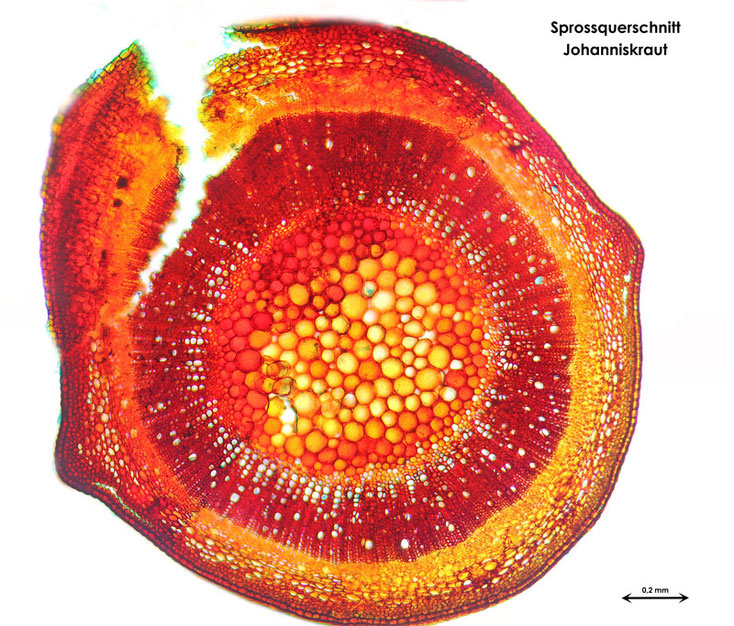 Bild 2 Echtes Johanniskraut (Hypericum perforatum) Sprossgesamtquerschnitt