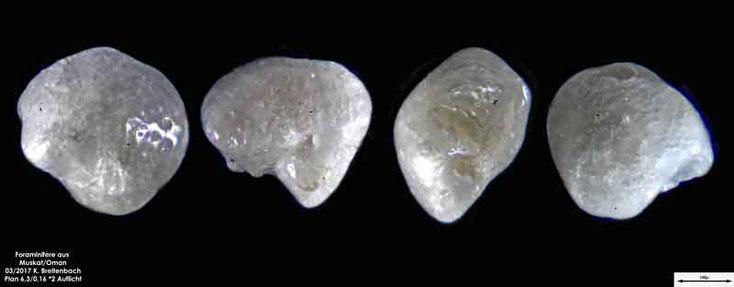 Bild 12 Foraminiferen aus dem Oman, Strand von Muskat. Gattung: unbestimmt