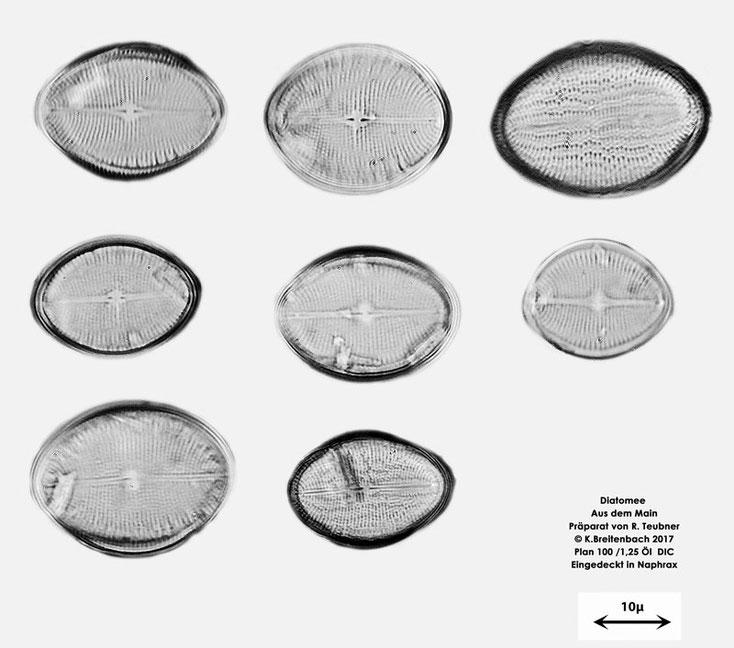 Bild 3a Diatomeen aus dem Main km 69,4 Art: vermutlich Cocconeis pediculus
