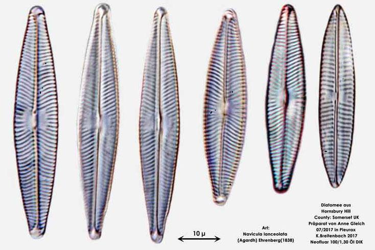 Bild 19 Diatomeen aus Hornsbury Hill, County Somerset UK, Art: Navicula lanceolata (Agardh) Ehrenberg(1838)