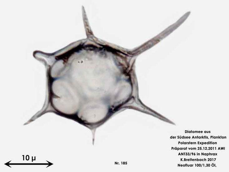 Bild 39 Diatomee aus dem anarktischen Ozean Präparat: ANT33/96; Gattung: Nicht identifiziert