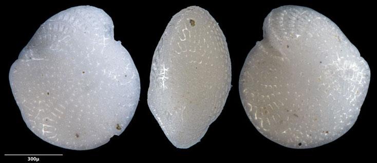Bild 14 Foraminifere aus Sand vom Strand Flic en flac in Mauritius. Art: Elphidium crispum (Linnaeus 1758)