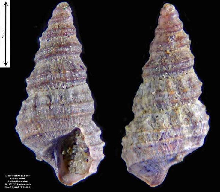 Bild 21 Meeresschnecke aus Sand von Punta Sottile. Gattung: konnte nicht bestimmt werden
