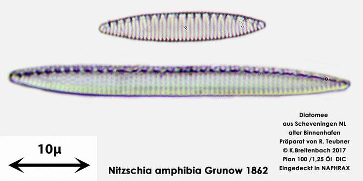 Bild 9 Diatomeen aus Scheveningen NL, Art vermutlich Nitzschia amphibia Grunow 1862