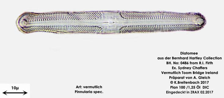 Bild 13 Diatomee aus Toomebridge Irland, Süßwasser Art: vermutlich Pinnularia spec.