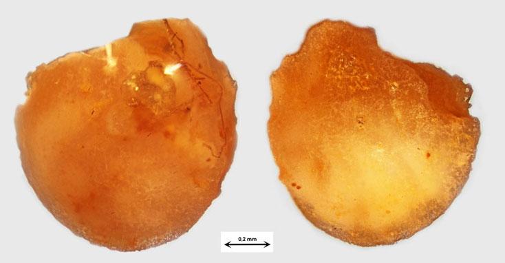 Foraminifere aus Waldlaubersheim vermutlich Lenticulina