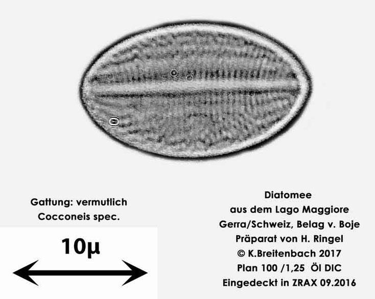 Bild 47 Diatomee aus dem Lago Maggiore/Gerra Schweiz, Gattung vermutlich Cocconeis spec.