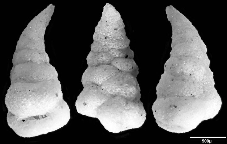Foraminifere aus Saudi Arabien, Ras as Zawr, Gattung: Textularia sp