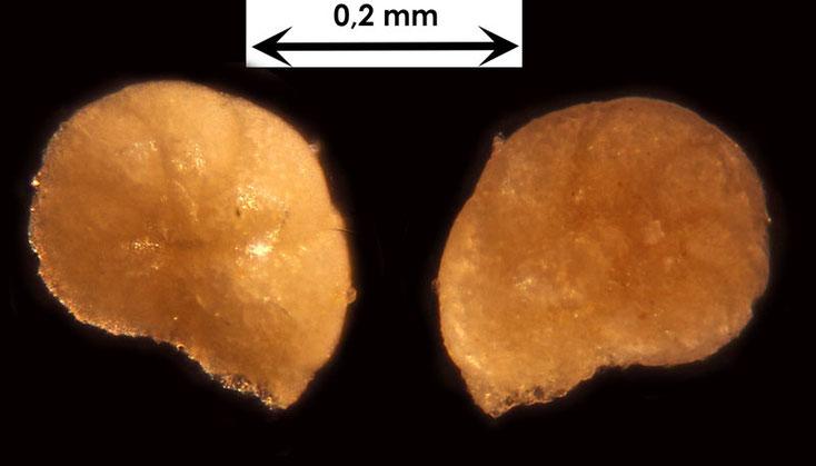 Foraminifere aus Waldlaubersheim vermutlich Lenticuline spec.