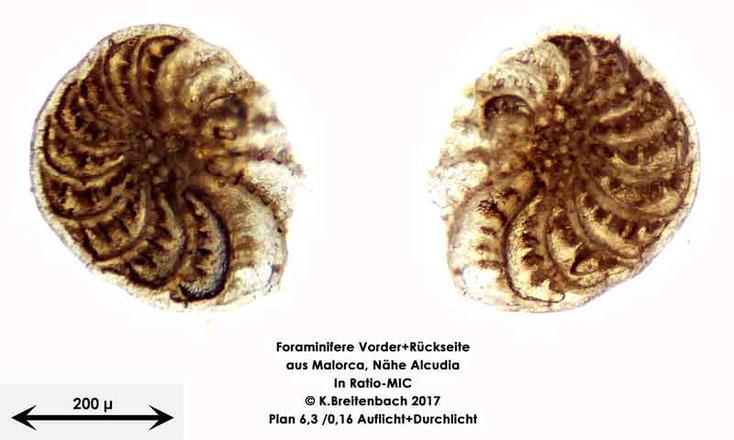 Bild 22 Foraminiferen aus Mallorca; Gattung: Elphidium spec.