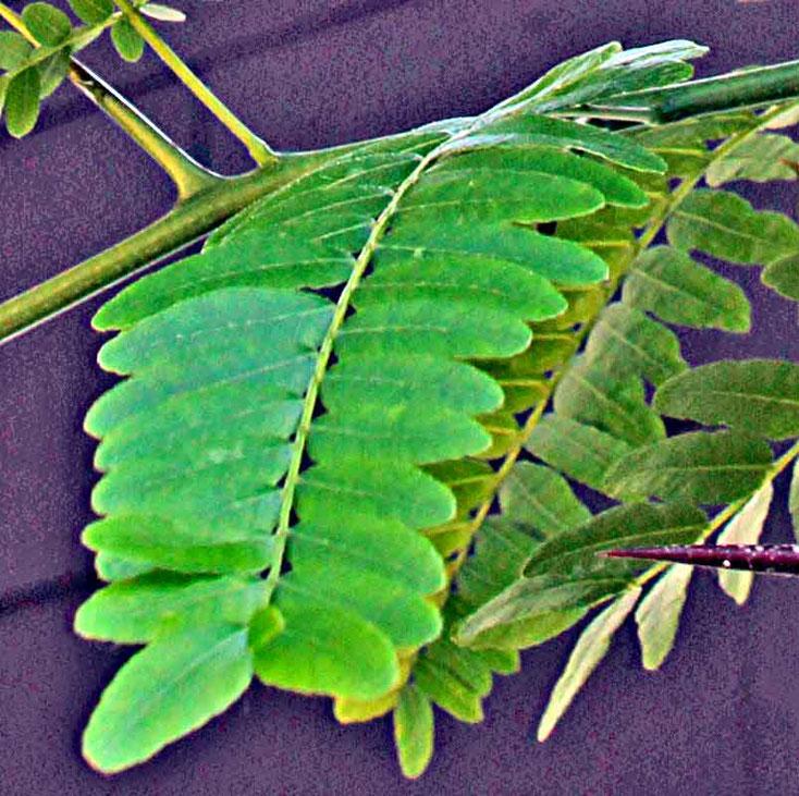 Bild 3 Blätter der Amerikanischen Gleditschie  (Gleditsia triacanthos) im Garten