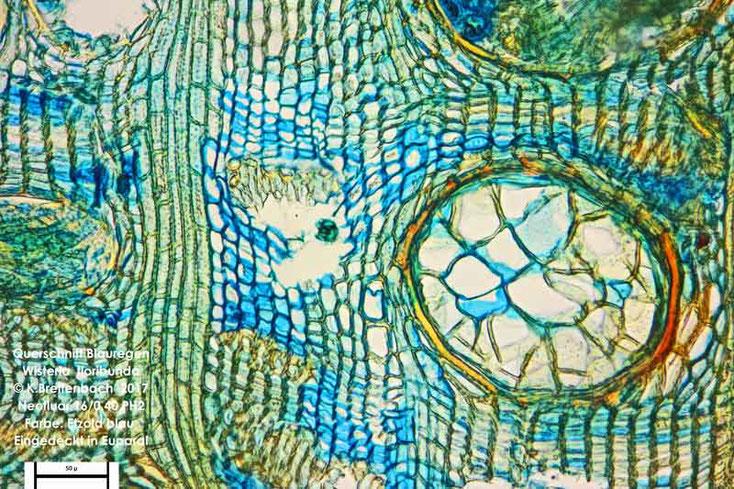 Bild 4 Japanischer Blauregen (Wisteria floribunda) Querschnitt