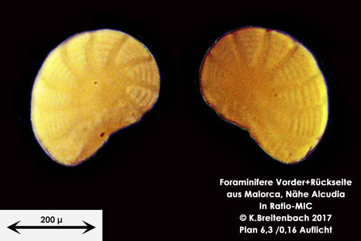 Bild 4 Foraminiferen aus Mallorca; Art: Peneroplis planatus (Fichtel & Moll, 1798)