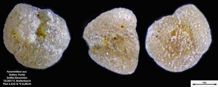 Bild 17 Foraminiferen aus Sand von Punta Sottile. Gattung: konnte nicht bestimmt werden