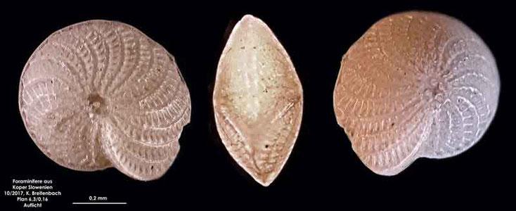 Bild 7 Foraminifere aus Koper/Slowenien Art: spec Elphidium crispum (Linnaeus, 1758)