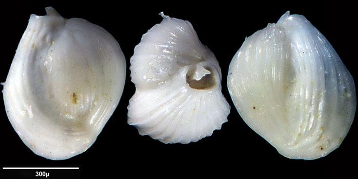 Bild 13 Foraminifere aus Maribago, Philippines; Art: Quinqueloculina boueana (d'Orbigny, 1846)