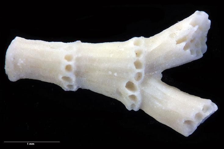 Senckenberg, Bryozoa, Bryozoen, Moostierchen, Turon