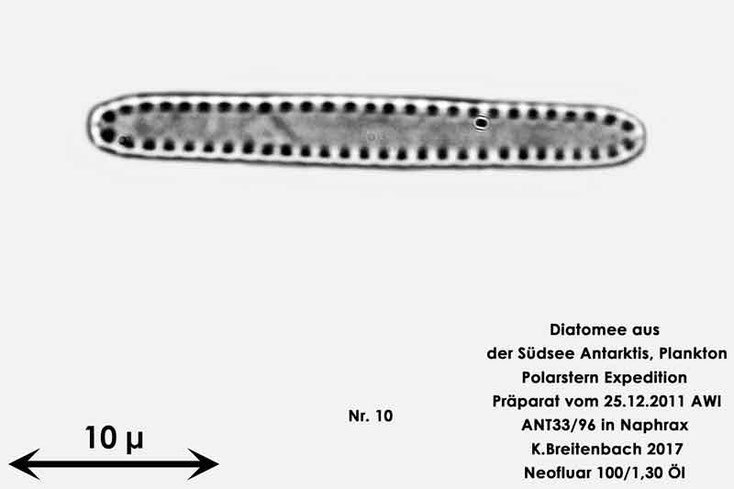 Bild 41 Diatomee aus dem anarktischen Ozean Präparat: ANT33/96; Gattung: Nicht identifiziert