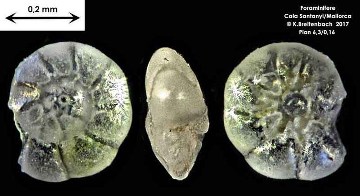 Bild 3 Foraminifere aus Mallorca Cala Santanyi Art: Ammonia sp.