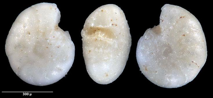 Bild 2 Foraminifere ausgelesen aus Sand von der Gaspesie, Kanada, Quebec