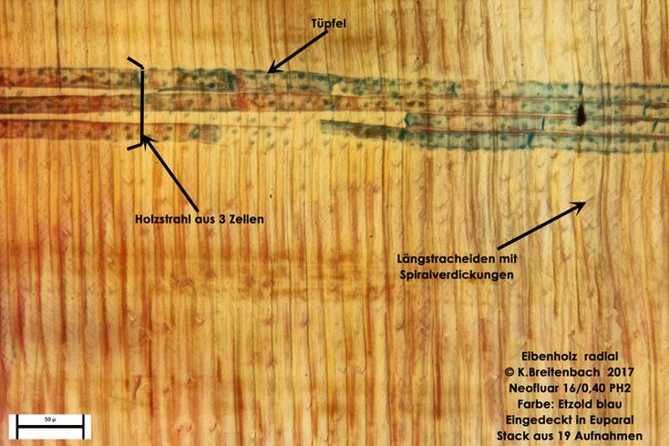 Eibenholz tangential mit Holzstrahl und Tracheiden mit deutlicher Spiralverdickung