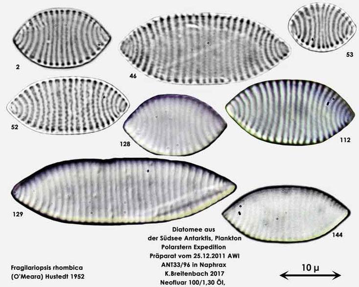 Bild 5 Diatomee aus dem anarktischen Ozean Präparat: ANT33/96; Zusammenfassung Art: Fragilariopsis rhombica (O'Meara) Hustedt 1952