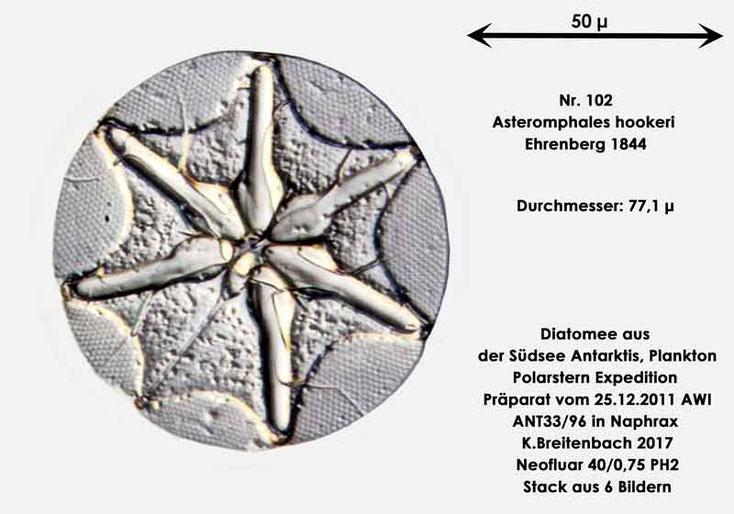 Bild 34 Diatomee aus dem anarktischen Ozean Präparat: ANT33/96; Art: Asteromphales hookeri Ehrenberg 1844