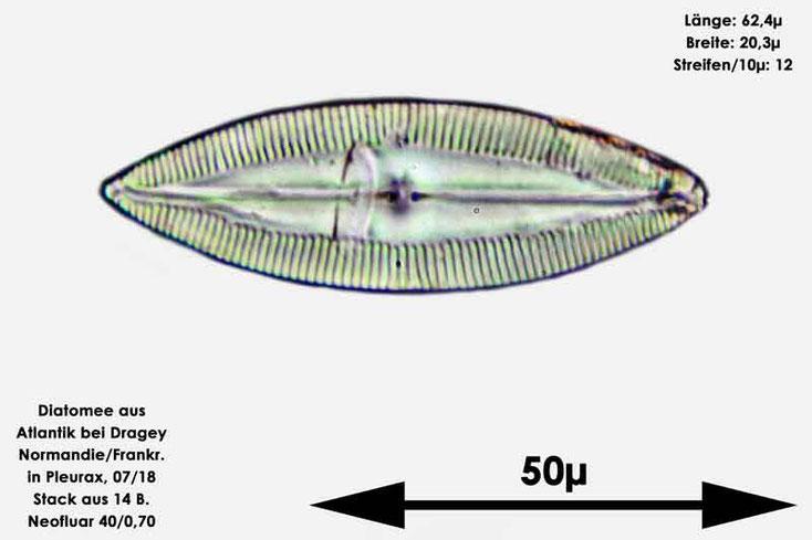 Diatomee aus dem Atlantik bei Draghey de Monton (Normandie). Art: Navicula palpebralis Brébisson ex W.Smith 1853