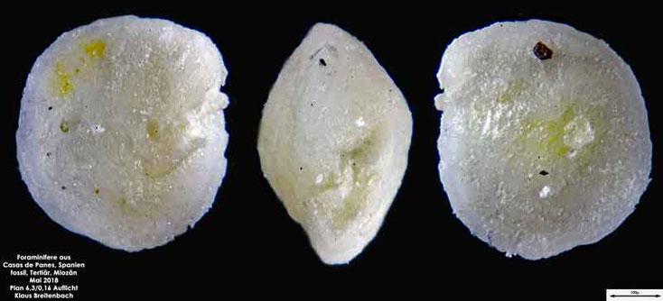 Foraminifere aus Casas de Pranes, Spanien. Art: Ammonia beccarii (Linnaeus 1758)