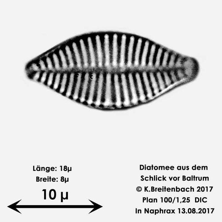 Bild 26 Diatomee aus dem Watt vor Baltrum; Gattung konnte von mir nicht bestimmt werden